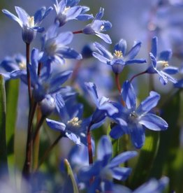 Glory of the snow Chionodoxa sardensis