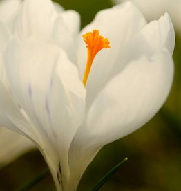 Crocus (Dutch) Crocus vernus 'Jeanne d'Arc'