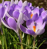 Crocus (Dutch) Crocus vernus 'Vanguard' (Dutch crocus) – Stinzenplant