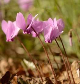 Cyclamen (Ivy leaved) Cyclamen hederifolium