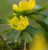Winter aconite Eranthis hyemalis (Winter aconite) - Stinzenplant
