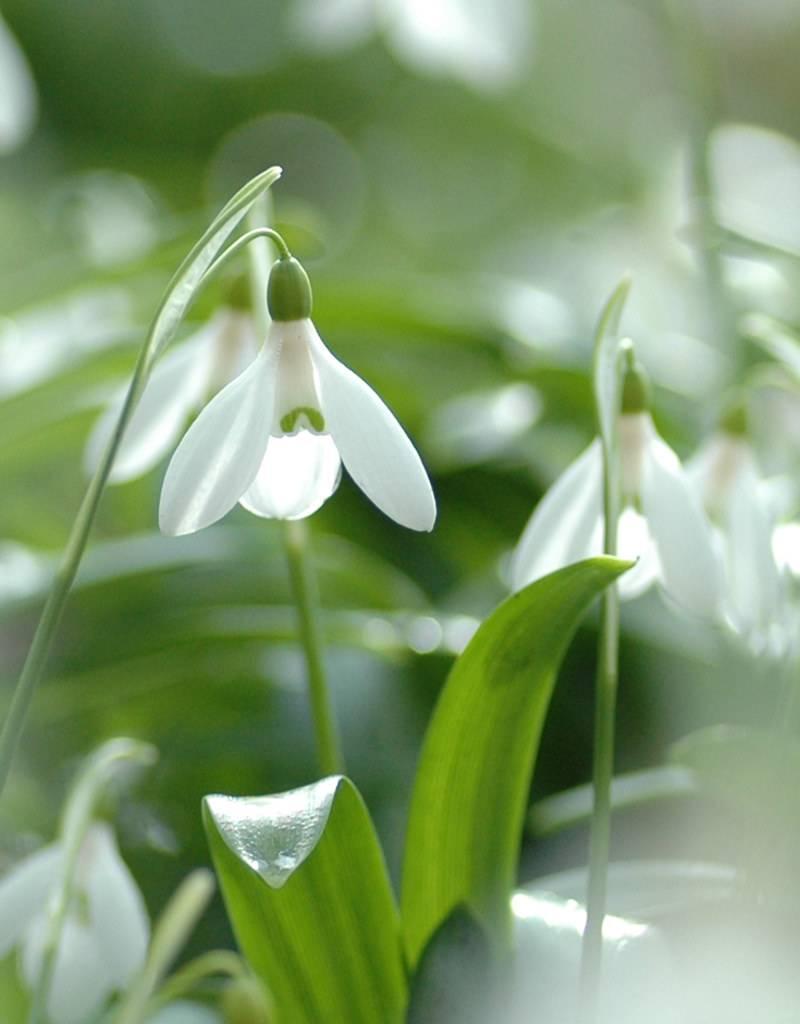 Snowdrop (Woronow's) Galanthus woronowii (Woronow's snowdrop) - Stinzenplant