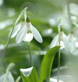Snowdrop (Woronow's) Galanthus woronowii (Woronow's snowdrop) small bulb – Stinzenplant