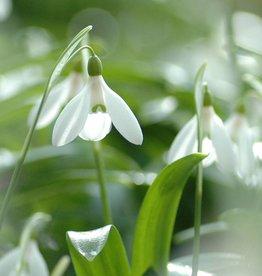 Snowdrop (Woronow's) Galanthus woronowii small bulb