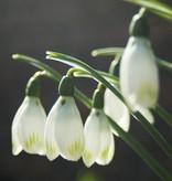 Snowdrop (Cultivar) Galanthus nivalis 'Viridapice'