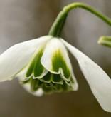 Snowdrop (Cultivar) Galanthus plicatus 'Dionysus'