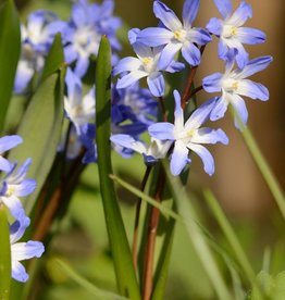 Glory of the snow Chionodoxa forbesii 'Blue Giant'