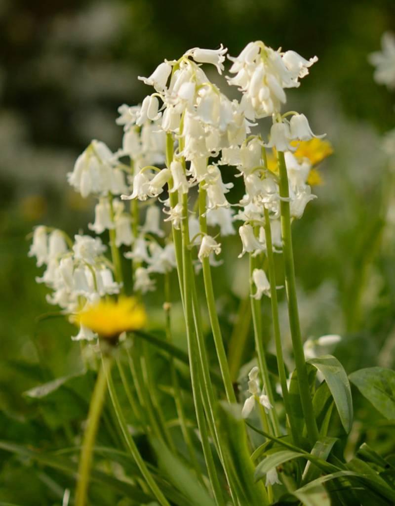 Buy hyacinthoides non scripta white bluebell de warande bluebell hyacinthoides non scripta white bluebell stinzenplant mightylinksfo