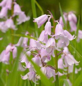Bluebell Hyacinthoides non-scripta, pink