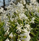 Hyacint (Roman) Hyacinthus orientalis, white (Roman Hyacint)