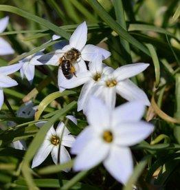 Starflower Ipheion uniflorum