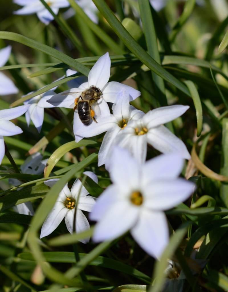 Starflower Ipheion uniflorum (Starflower)