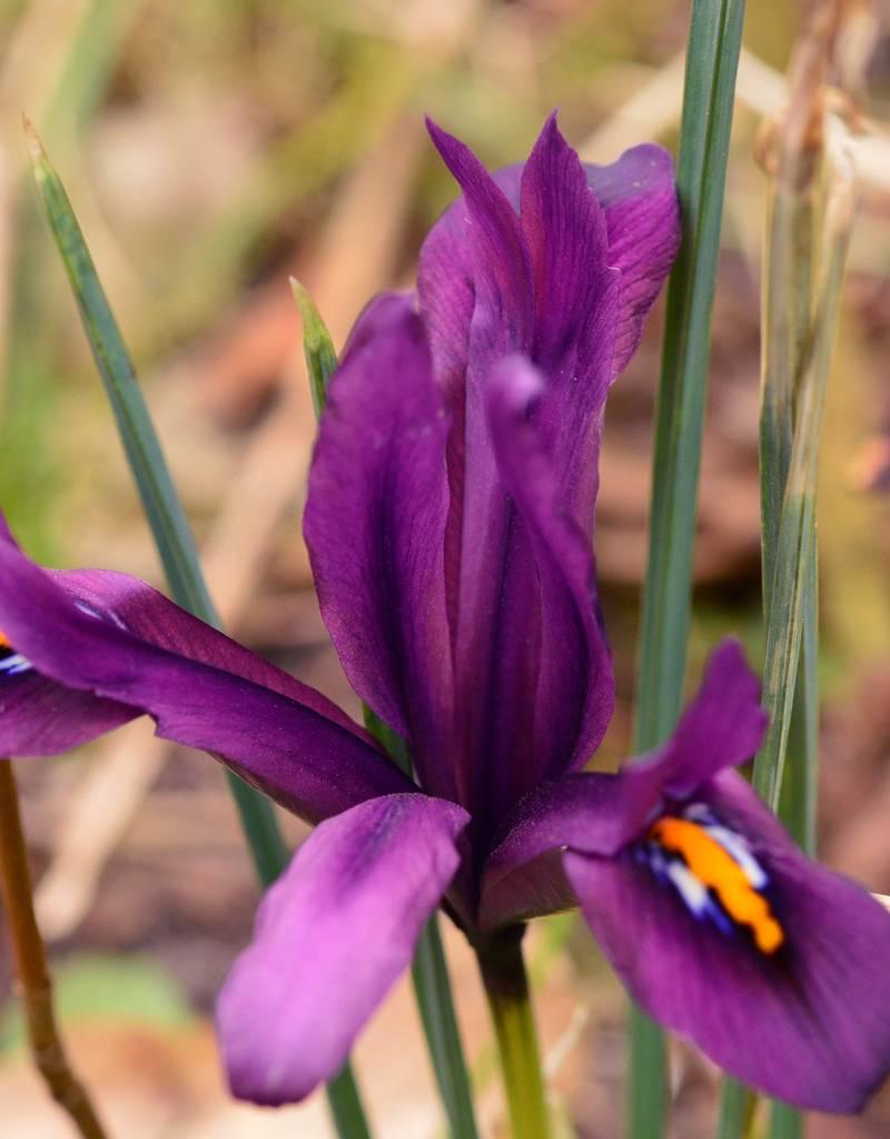Iris Iris reticulata 'J.S. Dijt' (Netted Iris)