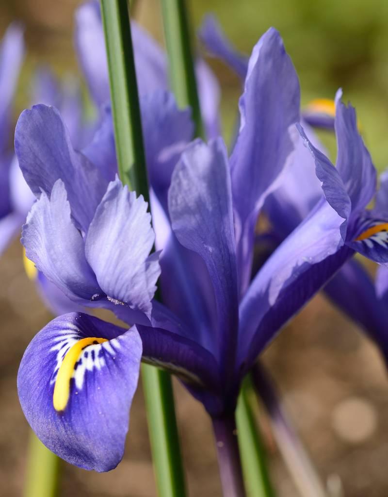 buy iris reticulata harmony de warande. Black Bedroom Furniture Sets. Home Design Ideas
