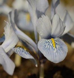 Iris Iris 'Sheila Ann Germany'