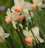 Daffodil Narcissus 'Reggae'
