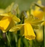 Daffodil Narcissus 'Tête-à-Tête'