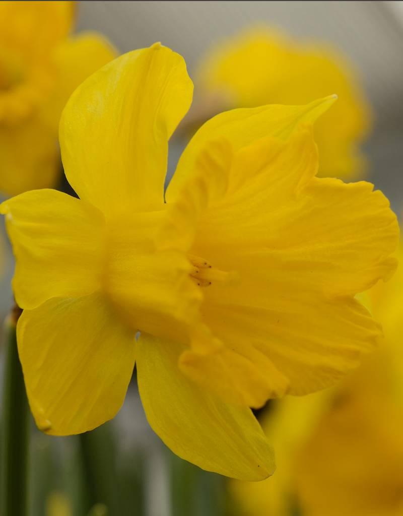 Daffodil (Tenby) Narcissus pseudonarcissus obvallaris (Tenby Daffodil) - Stinzenplant