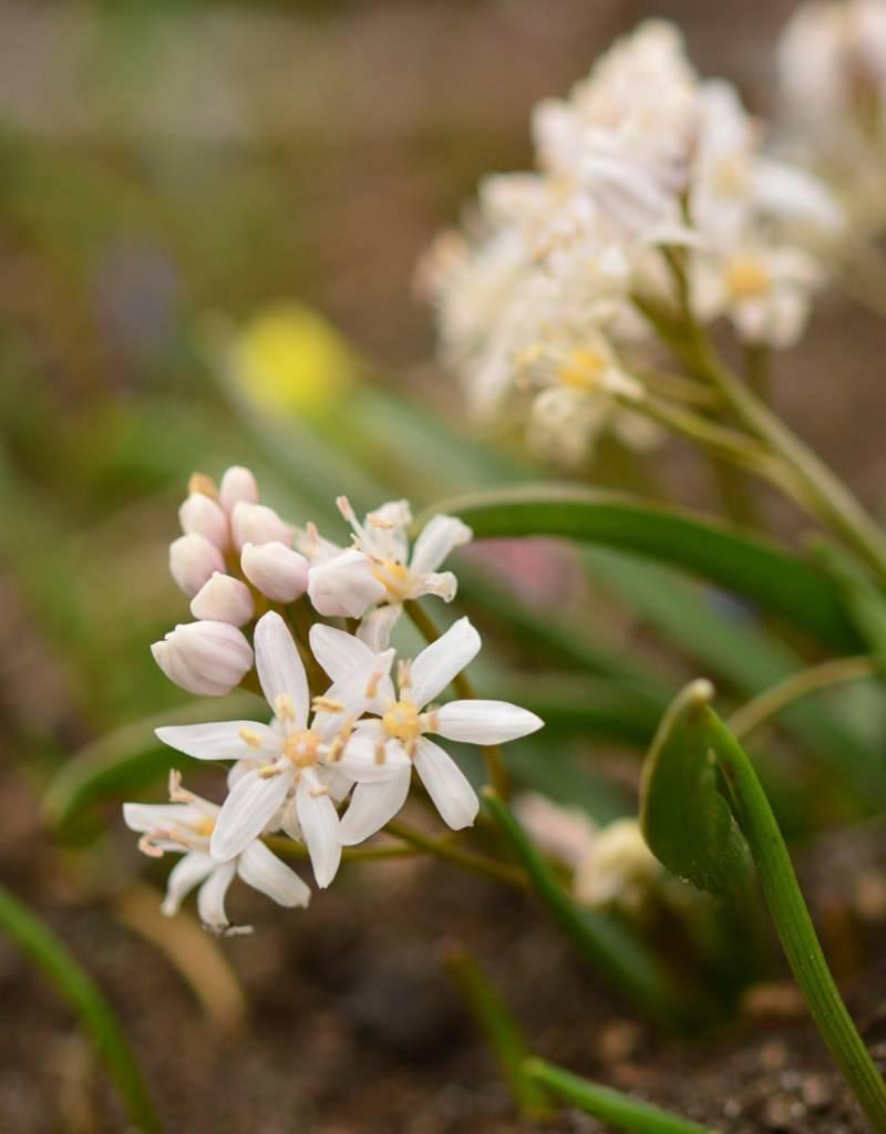 Squill (Alpine) Scilla bifolia 'Rosea' (Alpine squill) - Stinzenplant