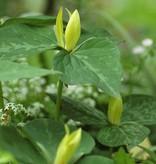 Wood trillium (Yellow) Trillium luteum (Yellow wood trillium)