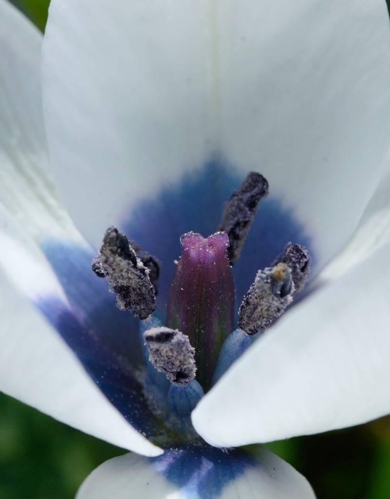 Tulip (Wild) Tulipa humilis var. pulchella 'Albocaerulea'