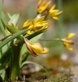 Tulip (Wild) Tulipa neustruevae
