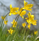 Tulip (Woodland) Tulipa sylvestris (Woodland tulip) - Stinzenplant