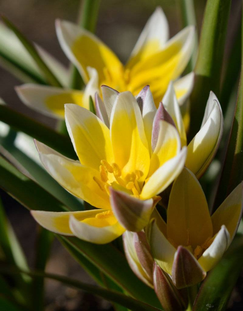 Tulip (Wild) Tulipa tarda