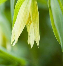 Bellwort Uvularia grandiflora