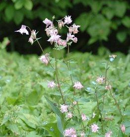 Columbine Aquilegia vulgaris (Seeds)