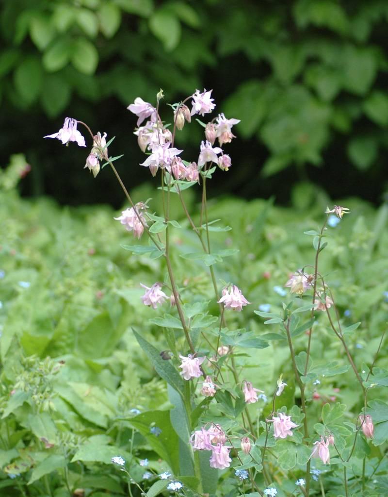 Columbine Aquilegia vulgaris (Seeds) (Common columbine)