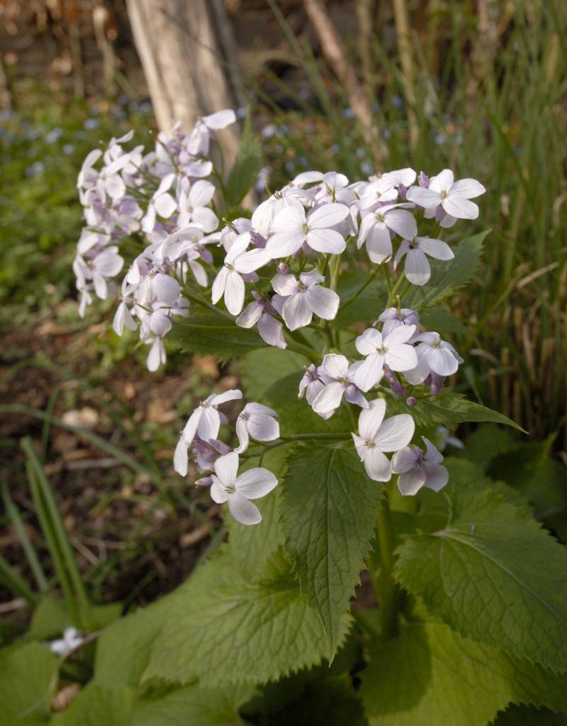 Perennial honesty Lunaria redivia (Seeds) (Perennial honesty)