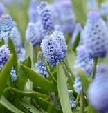 Grape hyacinth  Muscari azureum (Grape hyacinth )