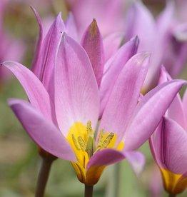 Tulip (Wild) Tulipa humilis