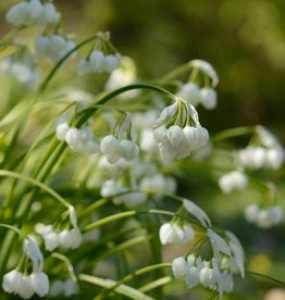 Onion Allium paradoxum