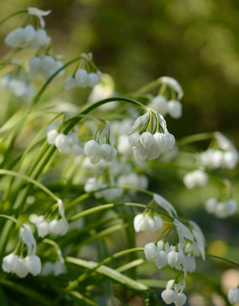 Onion Allium paradoxum (Few-flowered garlic)