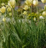 Tulip Tulipa 'Spring Green'