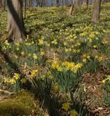 Daffodil (Wild) Narcissus pseudonarcissus lobularis (Wild daffodil) - Stinzenplant