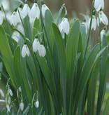 Snowdrop Galanthus elwesii (Greater snowdrop) - Stinzenplant