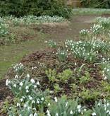 Snowdrop Galanthus elwesii (Greater snowdrop) small bulb size – Stinzenplant