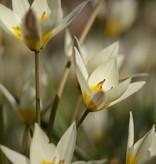 Tulip (Wild) Tulipa turkestanica