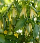 Bellwort Uvularia grandiflora (Bellwort)