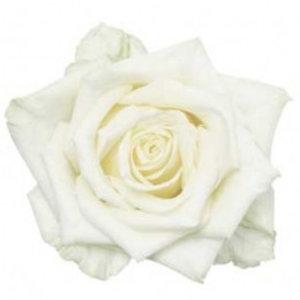Rozen.nl 50 White Naomi