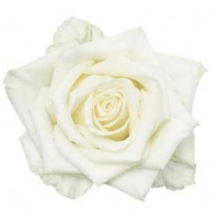 Rozen.nl 100 White Naomi