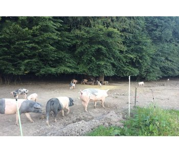 Schweinenacken Buntes Bentheimer