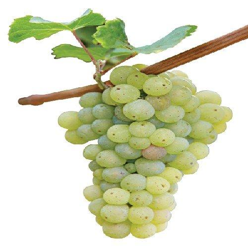Druivenrassen