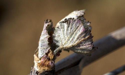 Bourgondische wijnboeren meten schade op na voorjaarsvorst