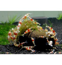 Catappa.nl PRL Crystal Red