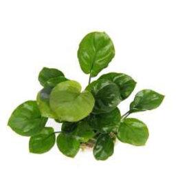 Dennerle Anubias Coin Leaf