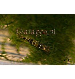 Catappa.nl Tijger x Bij garnaal
